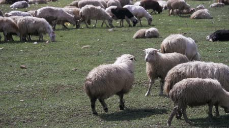 çoban : Two Sheep Butting Heads in the Field