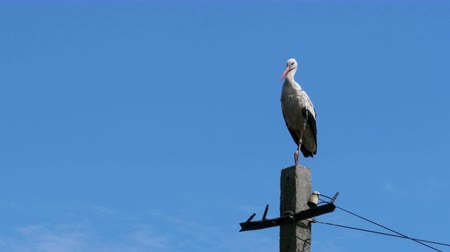 ciconiidae : Stork Sitting on a Pillar High Voltage Power Lines on Blue Sky Background