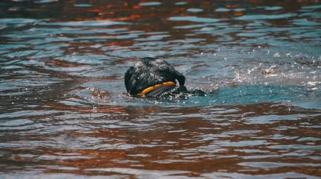 fetch : Big Black Dog Swims in the River. Slow Motion Stock Footage
