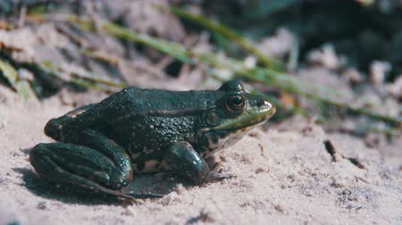 bullfrog : Green Frog Sits on the Shore near the River