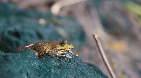 sivilceli : Green Frog Sits on the Shore near the River