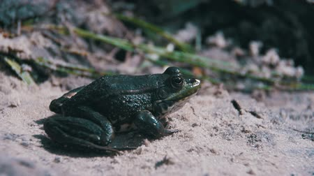 rana : Green Frog Sitting on a River Bank in Water. Slow Motion Stock Footage