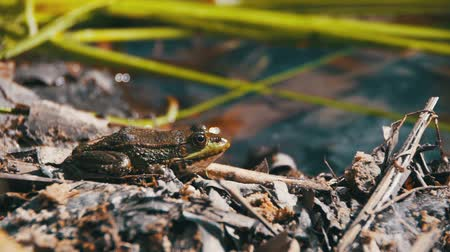 anuran : Green Frog Sitting on a River Bank in Water. Slow Motion Stock Footage