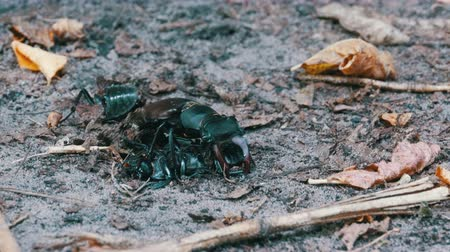 beastie : Stag Beetle Deer Pushes a Crushed Dead Beetle along the Ground Stock Footage