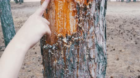 neobdělávaný : Scraped bark on the trunk of a pine tree and wood tar