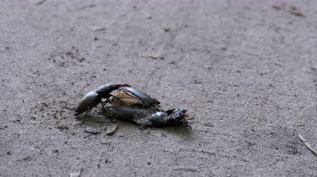 stag beetle : Stag Beetle Deer Pushes a Crushed Dead Beetle along the Ground Stock Footage