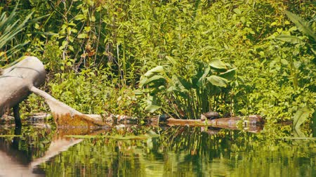 sunning : Turtles Sit on a Log in the River
