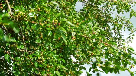morinda : Mulberry Fruit on Tree, Fresh Berry in Nature Stock Footage