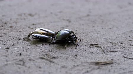 mortal : Stag Beetle Deer Pushes a Crushed Dead Beetle along the Ground Vídeos