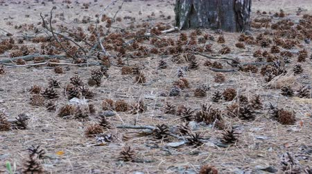 neobdělávaný : Cones in the Pine Forest