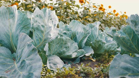 volktuintje : Young Cabbage Grows in the Farmer Field