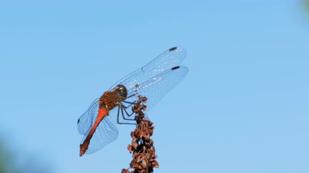 coleopteres : Red Dragonfly on a Branch on Blue Sky Background