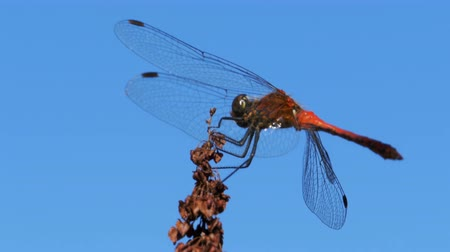libellula depressa : Red Dragonfly on a Branch on Blue Sky Background