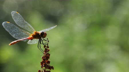 libellula depressa : Red Dragonfly on a Branch on Green Plants Background Stock Footage