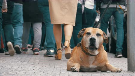 rescue dog : Crowd of Indifferent People on the Street Pass by Sad, Tied Faithful Dog Stock Footage