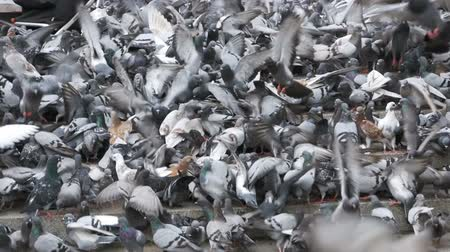 koşuşturma : Huge Flock of Pigeons Eating Bread Outdoors in the City Park. Slow Motion