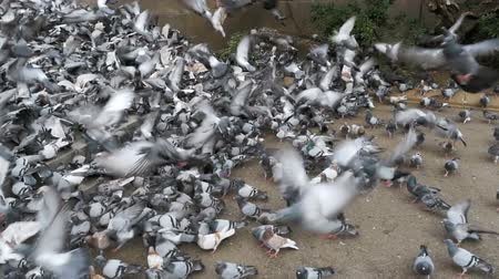 koşuşturma : Huge Flock of Pigeons Take off on the City Street. Slow Motion