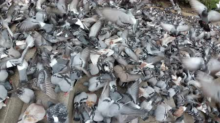 koşuşturma : Top View of Huge Flock of Pigeons Eating Bread Outdoors in the City Street