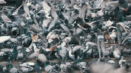 переполох : Huge Flock of Pigeons Eating Bread Outdoors in the City Park. Slow Motion