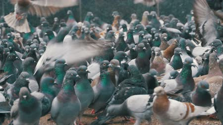 koşuşturma : Huge Flock of Pigeons Eating Bread and Take off on the City Street. Slow Motion Stok Video