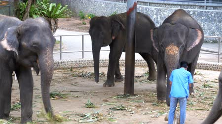 young elephants : Elephants in a zoo with chains chained to their feet. Thailand. Asia Stock Footage