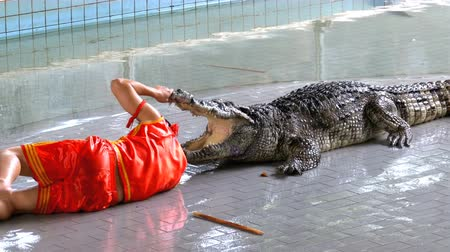 jacaré : Man puts his head in crocodile jaws. Pattaya Crocodile Farm. Thailand