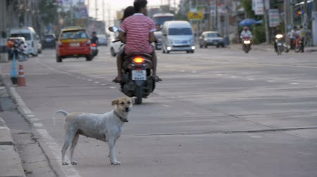 dog pound : Stray Dog Sits on the Road with Passing Cars and Motorcycles. Asia, Thailand. Slow Motion Stock Footage