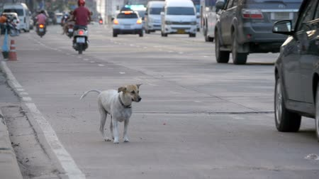 rescue : Homeless Gray Dog Sits on the Road with Passing Cars and Motorcycles. Slow Motion. Asia, Thailand