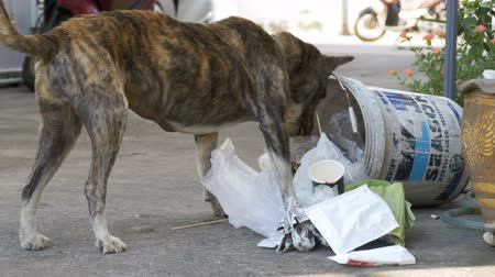 wasteland : Homeless, Thin and Hungry Dog Rummages in a Garbage can on the Street. Asia, Thailand Stock Footage