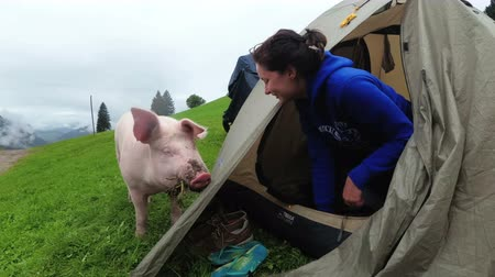 marionetka : A tourist girl in a tent is touched by a big pink pig. First-person view