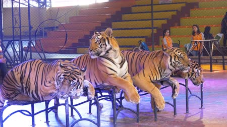 panthers : Four tigers lie on the circus arena. Thailand Stock Footage