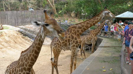 afrika : People feeding the giraffe from the hands in the Khao Kheow Open Zoo. Thailand Stok Video