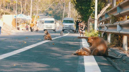 cauda : Monkeys walk along the Road of Jungle in Thailand