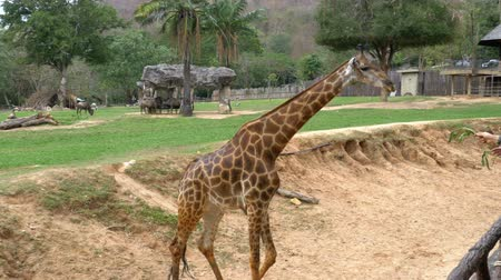 jikry : People feed the giraffe from the hands in the Khao Kheow Open Zoo. Thailand Dostupné videozáznamy
