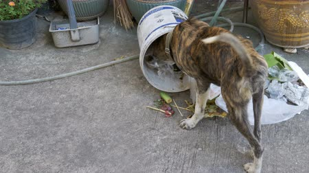 abandonment : Homeless, Thin and Hungry Dog Rummages in a Garbage can on the Street. Asia, Thailand Stock Footage