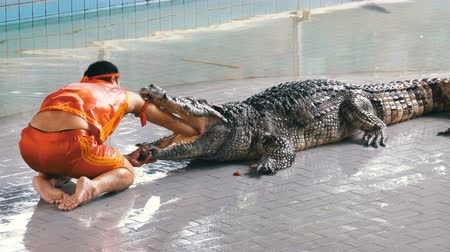 klatka : Man puts his hand in the mouth of a crocodile. Pattaya Crocodile Farm. Thailand