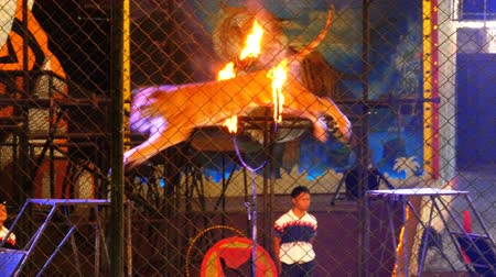panthers : Tiger Jumps Through Ring of Fire in the circus arena. Thailand Stock Footage
