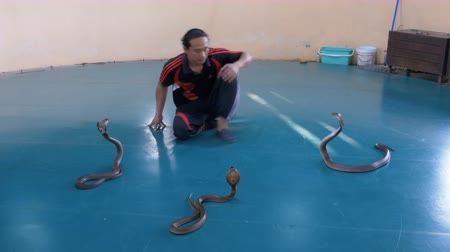 riskli : Snake Show. Snake Handler shows tricks with poisonous snakes. Thailand