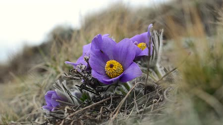 pasque : blossoming purple pasque flowers pulsatilla grandis swaying in the wind on the hill