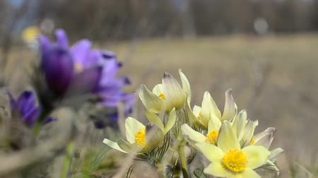 pasque : blossoming purple ans yellow pasque flowers pulsatilla grandis swaying in the wind on the hill