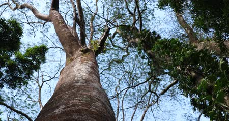 low lighting : Looking up the trunk of a large jungle tree with the blue sky behind the branches and leaves Stock Footage