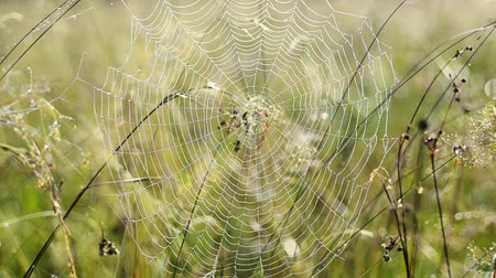 Spider web with dew Stok Video