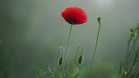 つぼみ : Red poppy flower