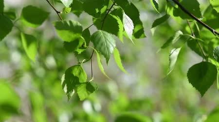 birch tree : Sunny green leaves Stock Footage