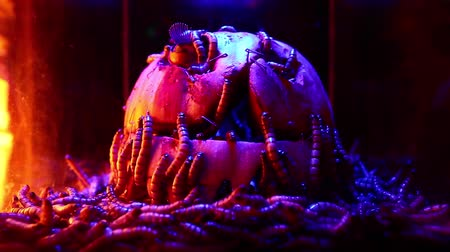 frightful : Mealworms Halloween decoration on Jack olatern pumpkin, creepy horror dark shot Stock Footage