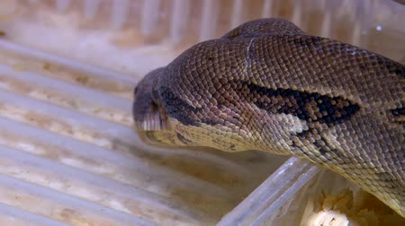 boa constrictor : Constrictor snake drinking water in terrarium, closeup head shot Stock Footage