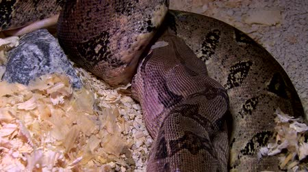 wurgen : Constrictor slang eet muis in moeras, close-up