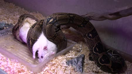 prowl : Constrictor snake eats white rat in swamp