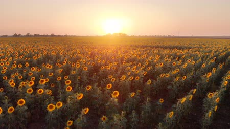landscape over a beautiful sunflower field in sunset.  nature landscape. Stock Footage