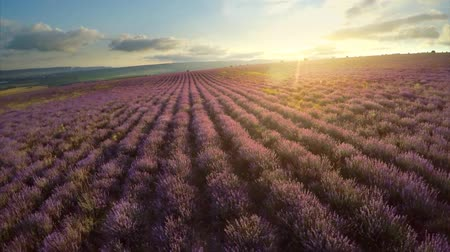 Nature landscape video. Flight over lavender meadow at sunset. Agriculture industry scene. Nature scene composition.
